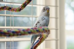 Budgie on colorful rope perch. Recessive pied blue and white budgie sitting on colored rope perch Royalty Free Stock Photography