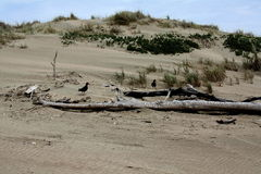 Receveurs d'huître sur la dune de sable Images stock