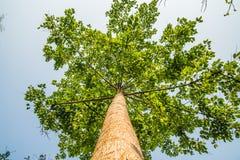 Recherchant de dessous la vue l'arbre avec la lumière du soleil Photographie stock libre de droits
