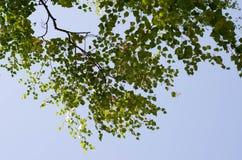 Recherche au ciel dans la forêt de bouleau Photo libre de droits