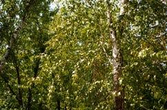 Recherche au ciel dans la forêt de bouleau Images libres de droits