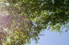 Recherche au ciel dans la forêt de bouleau Photos libres de droits