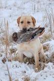 Recherche d'un canard Image libre de droits