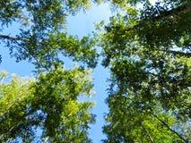 Recherche dans la forêt de bouleau images stock