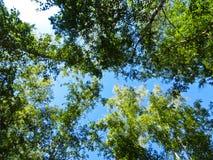 Recherche dans la forêt de bouleau photographie stock