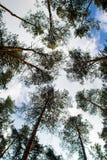 Recherche dans le pin Forest Tree Sous nuageux bleu Images libres de droits
