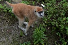 Recherche des patas de singe-Erythrocebus de nourriture-Patas Photos stock
