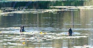 Recherche des poissons Photos libres de droits