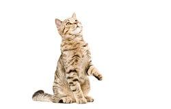 Recherche droite écossaise de jeune chat Images libres de droits