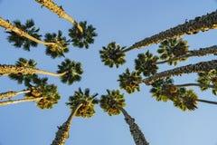 Recherche du palmier avec le ciel bleu Photo stock