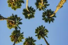 Recherche du palmier avec le ciel bleu Photographie stock