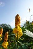 Recherche le nectar dedans à la bougie jaune Bush et x28 ; Alata& x29 de séné ; Images libres de droits