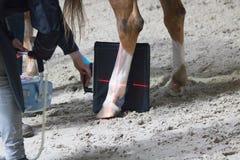 Recherche vétérinaire de chevaux avec le rayon X chez un cheval estropié le cheval peut plus ne marcher images libres de droits