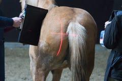 Recherche vétérinaire de chevaux avec le rayon X chez un cheval estropié le cheval peut plus ne marcher Photo stock