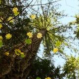 Recherche vers le dessus d'un arbre à feuilles persistantes par les feuilles à feuilles caduques ; photographie stock