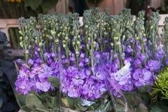 Recht aufrechte Blüte des Rittersporns (Rittersporn Consolida) in Lizenzfreie Stockfotografie