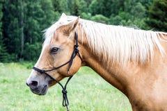 Recht braunes Pferd mit dem weißen Haar lizenzfreie stockbilder