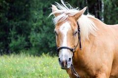Recht braunes Pferd mit dem weißen Haar Stockfotos