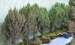 Recht deodar Baumsämlinge, die in den Blumentöpfen in einem Treibhaus an einer Kindertagesstätte kultiviert werden Stockbild