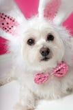 Recht flaumiger weißer Hund im fantastischen Häschenkostüm Stockfoto