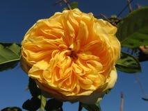 Recht gelbe Blume Lizenzfreie Stockfotos