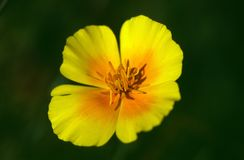 Recht gelbe und orange Blume gegen einen grünen Hintergrund stockbilder