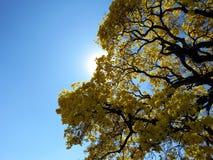 Recht gelber Baum u. x28; Handroanthus-albus& x29; Stockfotografie