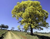 Recht gelber Baum u. x28; Handroanthus-albus& x29; Lizenzfreie Stockfotos