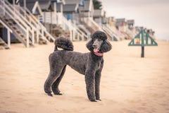 Recht gepflegter grauer Standardpudelhund Stockfoto
