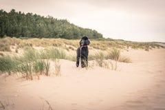 Recht gepflegter grauer Standardpudelhund Lizenzfreies Stockfoto