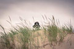 Recht gepflegter grauer Standardpudelhund Stockfotos