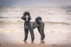 Recht gepflegter grauer Standardpudelhund Stockbilder