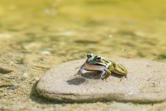 Recht grüner Frosch, der auf einem Stein in einem Teich sitzt stockfotografie