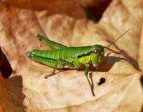 Recht grünes Insekt Stockbilder