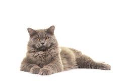 Recht graue britische langhaarige Katze, die auf dem Boden gegenüberstellt die Kamera liegt Lizenzfreie Stockfotos