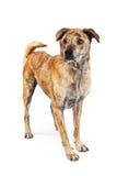 Recht großer Kreuzungs-Hund, der zur Seite steht Lizenzfreie Stockfotos