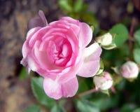 Recht im Rosa Stockbild