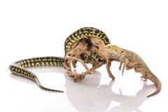 Recht kühle Eidechse und nette Schlangenpythonschlange in den freundlichen Umarmungen auf einem weißen Hintergrund Lizenzfreies Stockbild