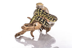 Recht kühle Eidechse und nette Schlangenpythonschlange in den freundlichen Umarmungen auf einem weißen Hintergrund Stockfotos