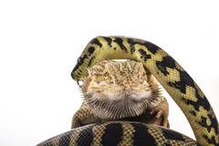 Recht kühle Eidechse und nette Schlangenpythonschlange in den freundlichen Umarmungen auf einem weißen Hintergrund Lizenzfreie Stockfotografie
