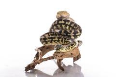 Recht kühle Eidechse und nette Schlangenpythonschlange in den freundlichen Umarmungen auf einem weißen Hintergrund Lizenzfreies Stockfoto