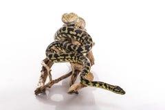 Recht kühle Eidechse und nette Schlangenpythonschlange in den freundlichen Umarmungen auf einem weißen Hintergrund Lizenzfreie Stockbilder