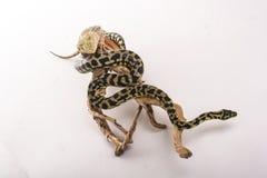 Recht kühle Eidechse und nette Schlangenpythonschlange in den freundlichen Umarmungen auf einem weißen Hintergrund Stockfoto
