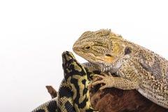 Recht kühle Eidechse und nette Schlangenpythonschlange in den freundlichen Umarmungen auf einem weißen Hintergrund Stockfotografie