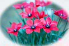 Recht kleine rote glatte Blumen mit einem schwarzen Staubgefässe in voller Blüte Stockfoto