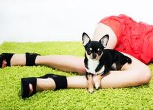 Recht kleiner lustiger Hund, der auf Frauenfüßen sitzt Stockbild