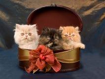 Recht nette persische Kätzchen im Geschenkkasten Lizenzfreies Stockfoto