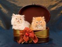 Recht nette persische Kätzchen im Geschenkkasten Stockbild