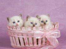 Recht nette Ragdoll Kätzchen im rosafarbenen Korb Stockfotografie