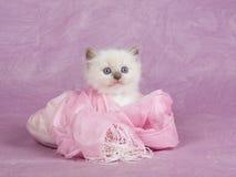 Recht nettes Ragdoll Kätzchen auf rosafarbenem Hintergrund Stockfotos